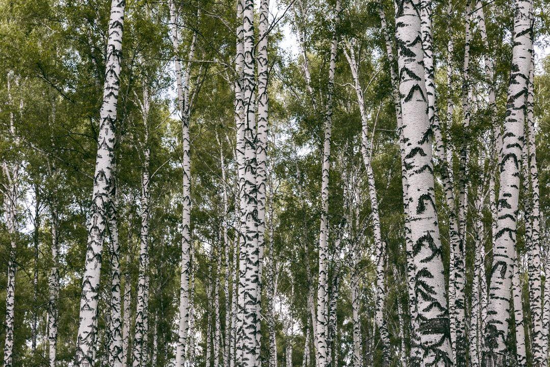 Une détox naturelle grâce au bouleau : cet arbre aux milles vertus