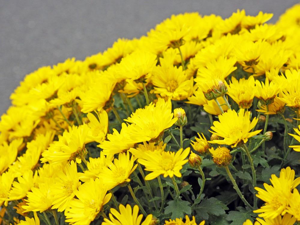 巣鴨地蔵通り 菊祭り