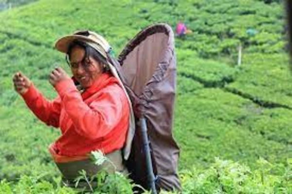Tea Development Project Sri Lanka