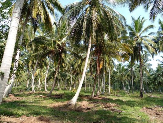 Coconut Land For Sale Mirigama Sri Lanka