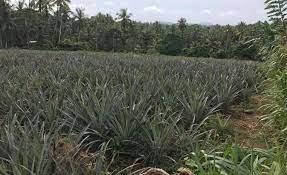 Agriculture Growing  Land For Sale Off Kurunagal