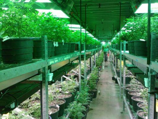Medical Marijuana Grow