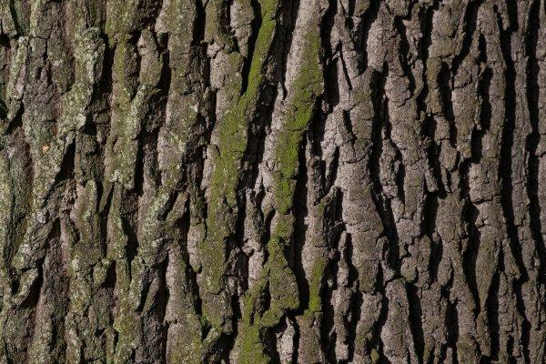 Oak from Slovenia