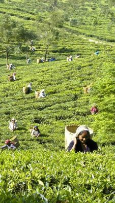 Wanted Investors Sale of 1000 Acres Tea Land