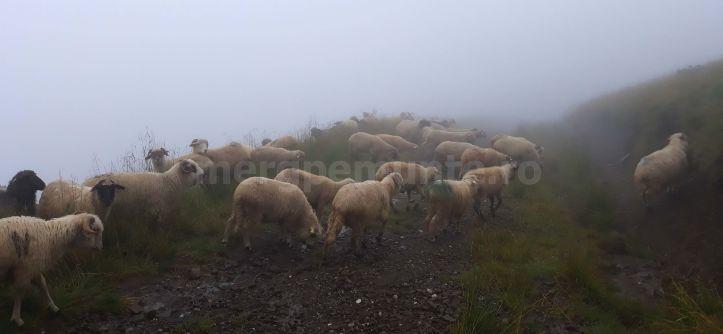 Turma de oi pe Culmea Petru-Orjogoaia