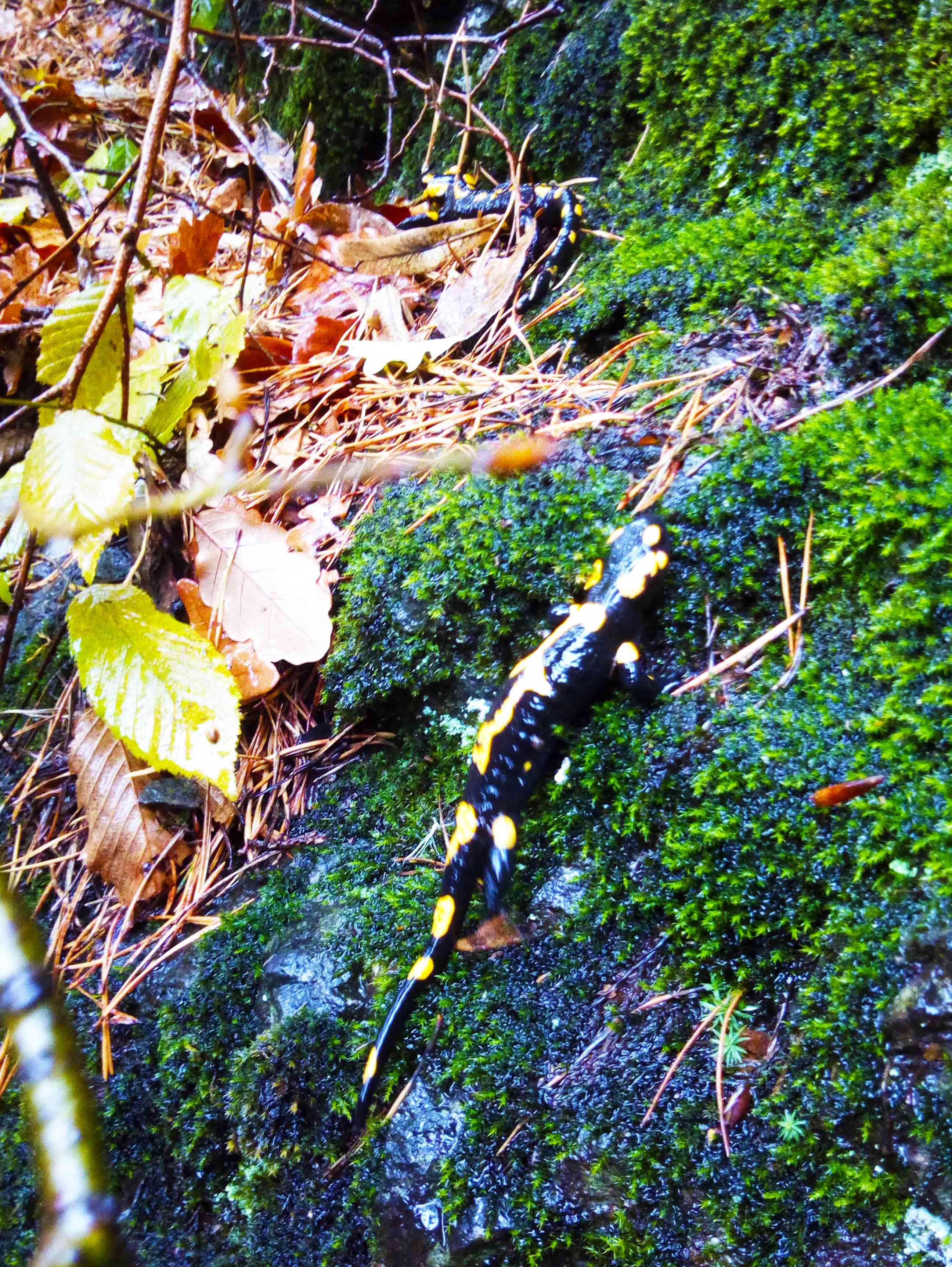 salamandra in cozia