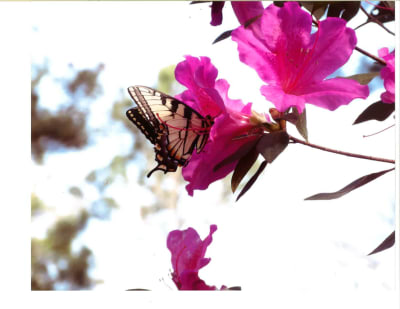 John-W.-Hierath-Azalea-Blossoms---2017-w1650.jpg