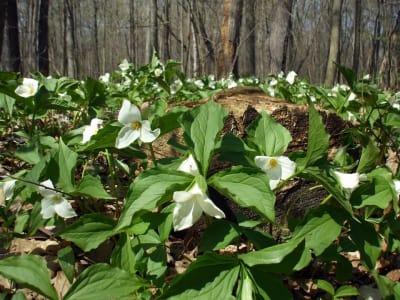 Spring_Trillium_Ad_Photo.jpg