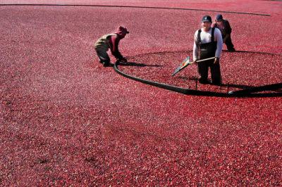 Cranberry-Harvest(2).jpg