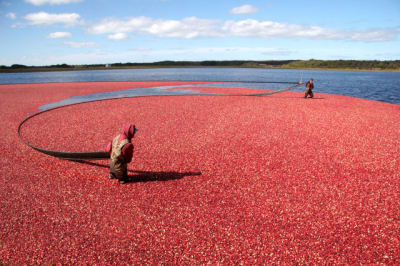 Cranberry-Harvest-2.jpg