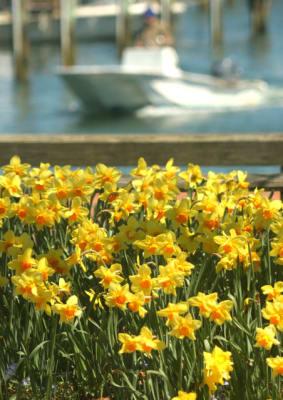 Daffodils-Straight-Wharf-w452.jpg