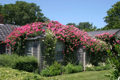 Rose-Covered-Cottage-Sconset.jpg