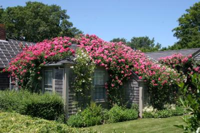 Rose-Covered-Cottage-Sconset.jpg