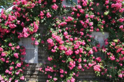 Roses-X4-w640.jpg