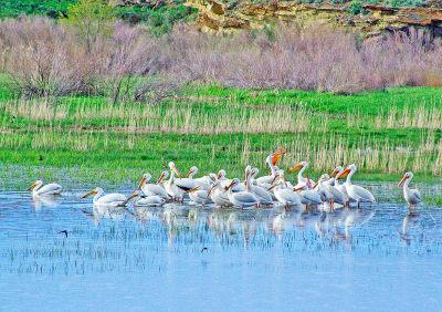 White-Pelicans-copy.jpg