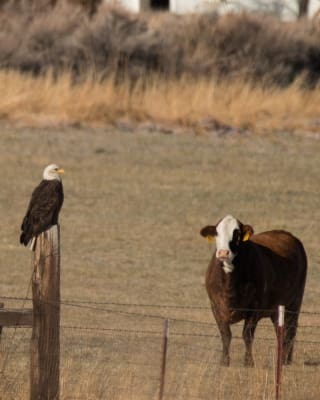 12-12-2016-J-Eagle-and-Cow-(2).jpg