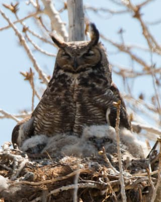 3-26-16-Zzb-Mama-Owl-and-babies.jpg
