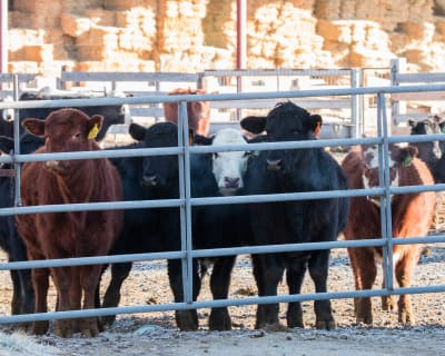 1-28-18-Curious-Cows.jpg
