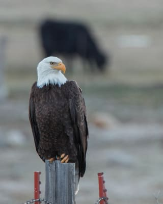 3-13-17-Bald-Eagle-with-Cow-in-background.jpg