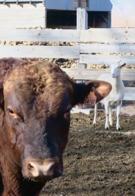 Cow-goat.JPG
