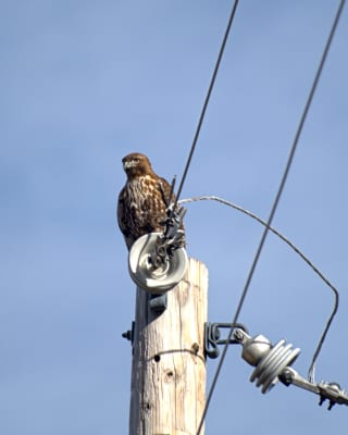 Red-Tailed-Hawk-on-Pole.jpg