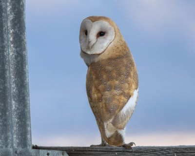 12-2-18-Barn-Owl-about-to-go-hunting.jpg