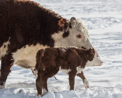 3-17-18-New-born-calf-on-a-Snowy-day.jpg