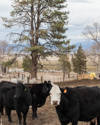 3-9-18-Cows-with-Baldie-in-Pine.jpg