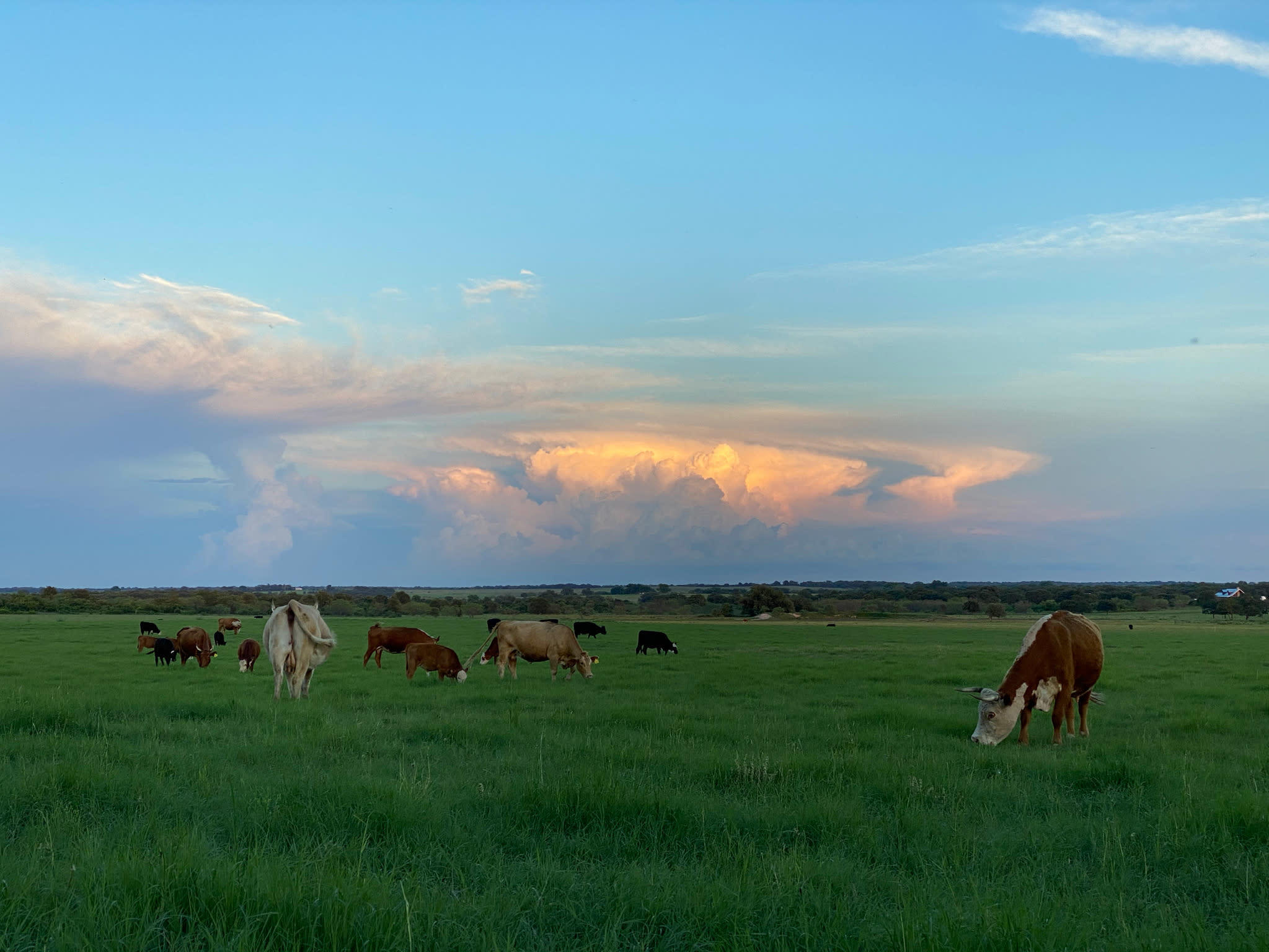 sunrise pretty clouds pasture and cows