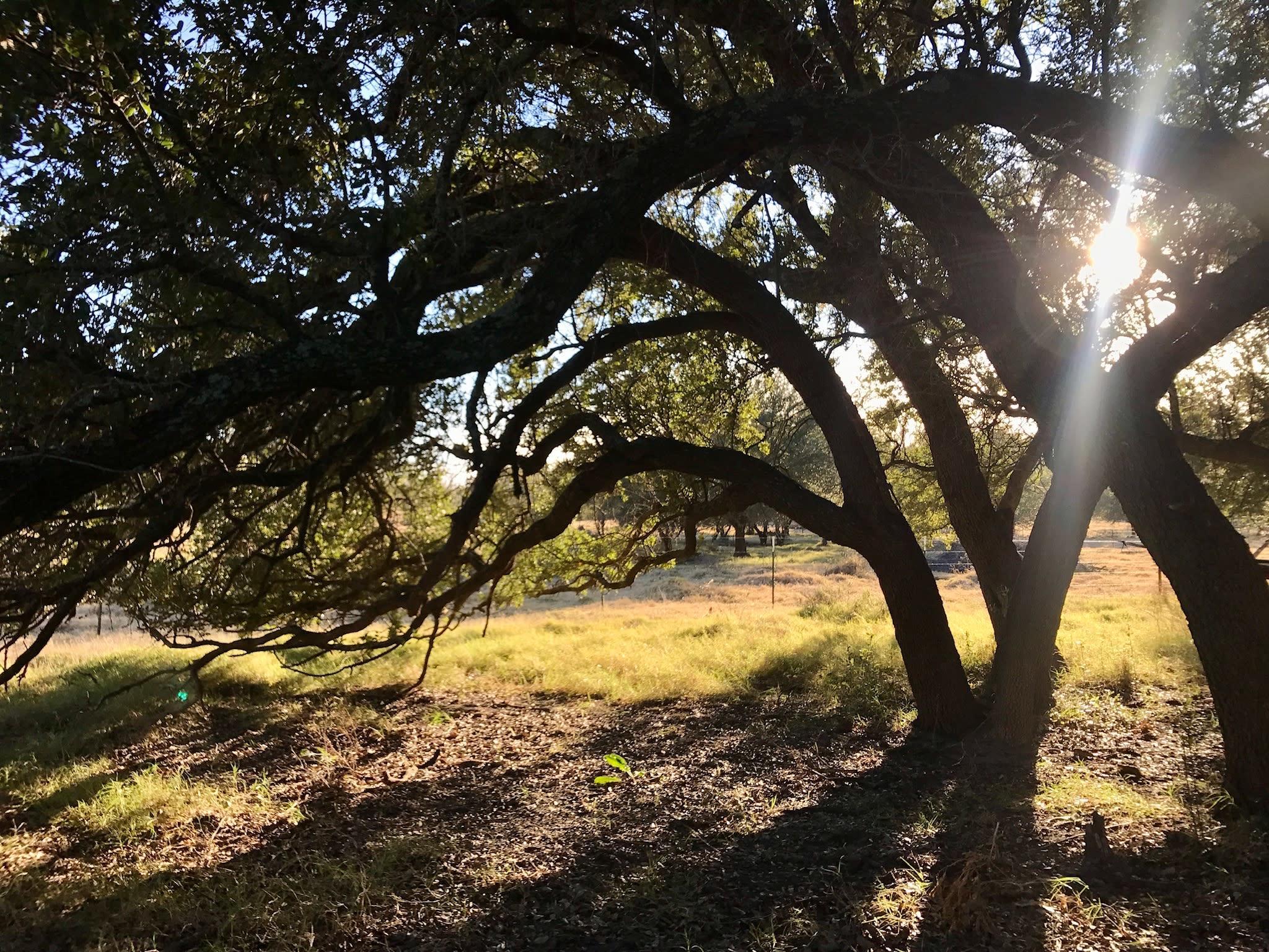 sun coming through oak tree canopy