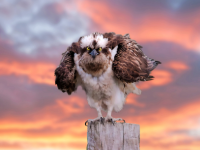 Osprey staring intently at viewer