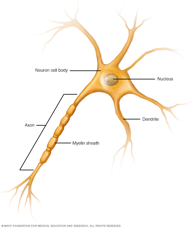 Illustration of a nerve cell (neuron), showing axon and dendrites