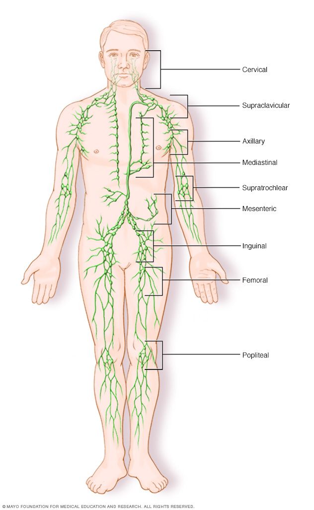 Lymph nodes cluster throughout the lymphatic system