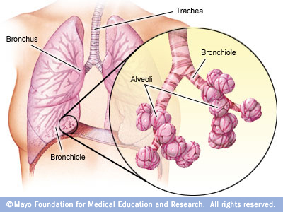 Bronchi, bronchioles and alveoli