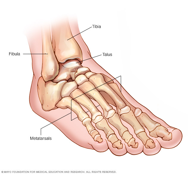 Foot and ankle bones