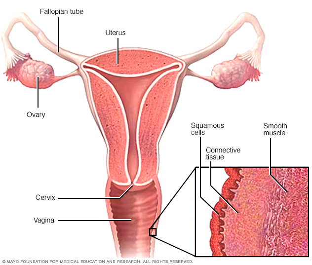 Layers of vaginal tissue