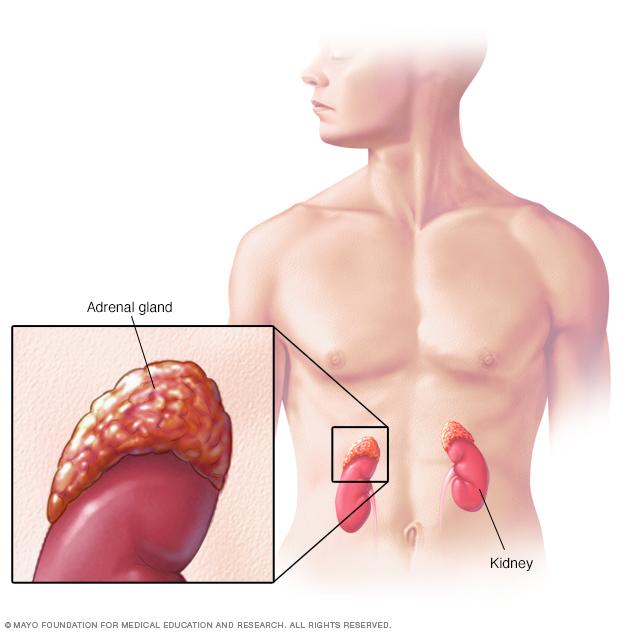 glandula que regula la presion arterial