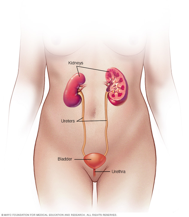 Female urinary system