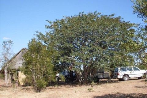 Büffelherden im Chobe Nationalpark