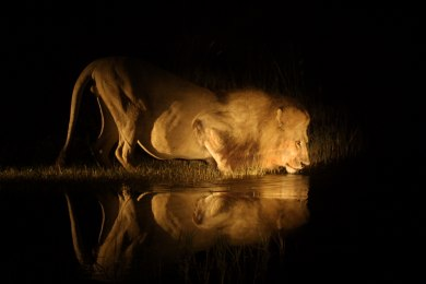 Lion on night game drive at PomPom Camp