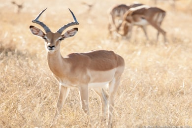 Impala on a game drive