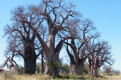 Baines's Baobab