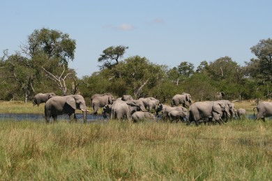 Elephant - Xakanaxa