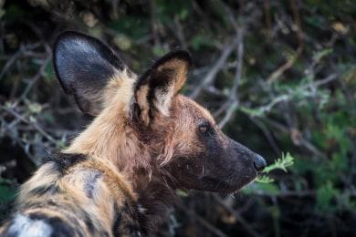 Wild Dogs in Camp Savuti
