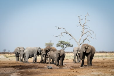 Elephant Herds at Camp Savuti