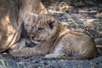 Big Cats in the Savuti Region