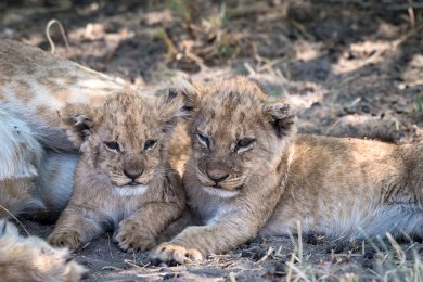 Lions Cubs in Chobe