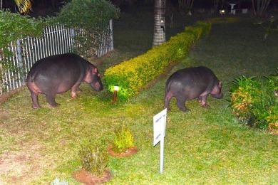 Hippos grazing in the Hotel garden