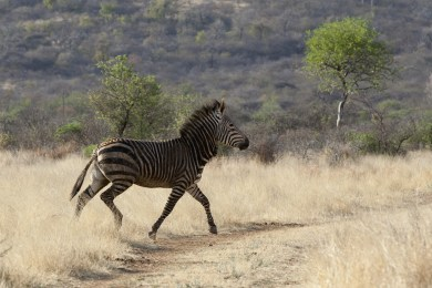 Hartmans Mountain Zebra
