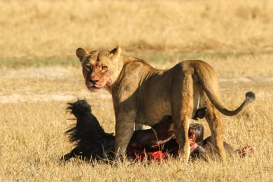 Lion on a wildebeest kill